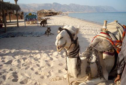 Al Tarek Camp Camel